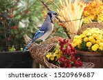 Exquisite Bluejay Standing On...