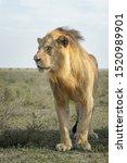 Male Lion  Panthera Leo ...