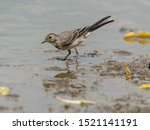 Little Ringed Plover In Water
