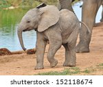 Stock photo african elephant calf 152118674