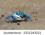 Fiddler Crabs  Ghost Crabs On...