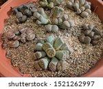 Weird Looking Succulents ...