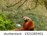 Gorgeous Red Panda Looking Up...
