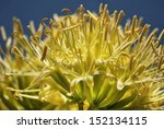 the bright yellow flower of a... | Shutterstock . vector #152134115