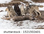 Small photo of Grey Wolves (Canis lupus) Gather at Deer Kill Winter - captive animals