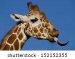 Head Shot Of A Giraffe Being...