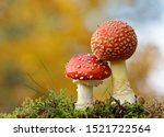 A Pair Of Red Fly Agaric...