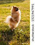 Stock photo dancing walking small furry red dog standing on two hind legs natural background performing 1521967991