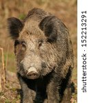 Portrait Of Wild Boar