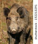 Portrait Of Wild Boar