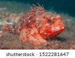 Small Red Scorpionfish ...