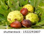 Horse Chesnut Or Oaknut In A...
