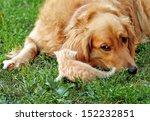 Stock photo dog and kitten animal friendship 152232851