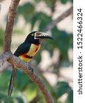 Collared aracari sitting on a branch