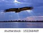 Small photo of African Lappetfaced Vulture (Aegypius trachelliotus) flying low over the Chobe River on the Caprivi Strip on the Namibian border with Botswana.