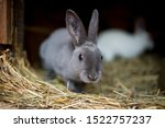 Stock photo grey rabbit looking out of a rabbit shop bunny pet stand on hay rabbit hutch on farmer yard 1522757237