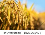 Golden Rice Paddy Rice Ear...