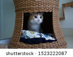 Stock photo scottish folded cat lying in the rattan bed tunnel 1523222087