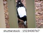 Australian Magpie  Cracticus...