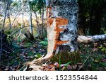 Small photo of Gnash traces of a beaver on a birch trunk