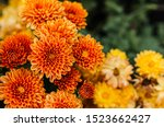Fresh Bright Chrysanthemums....