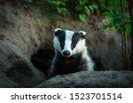 Badger  Scientific Name  Meles...