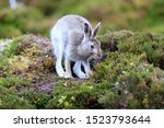 Stock photo mountain hare at the change of season it autumn and the mountain hares are changing colour from 1523793644