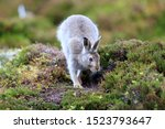 Stock photo mountain hare at the change of season it autumn and the mountain hares are changing colour from 1523793647
