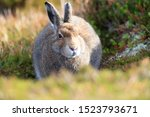 Stock photo mountain hare at the change of season it autumn and the mountain hares are changing colour from 1523793671
