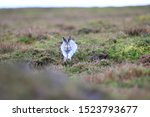 Stock photo mountain hare at the change of season it autumn and the mountain hares are changing colour from 1523793677