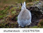 Stock photo mountain hare at the change of season it autumn and the mountain hares are changing colour from 1523793704