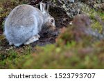 Stock photo mountain hare at the change of season it autumn and the mountain hares are changing colour from 1523793707
