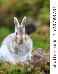 Stock photo mountain hare at the change of season it autumn and the mountain hares are changing colour from 1523793731