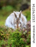 Stock photo mountain hare at the change of season it autumn and the mountain hares are changing colour from 1523793734