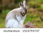 Stock photo mountain hare at the change of season it autumn and the mountain hares are changing colour from 1523793737