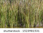 Small photo of Bullrushes narrow blade in a lagoon. Typha angustifolia. Reed mace.