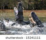 alligators attacking - stock photo