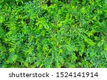 texture of green bush background | Shutterstock . vector #1524141914