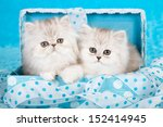 Stock photo silver chinchilla persian kittens sitting in blue gift box with ribbon on blue background 152414945