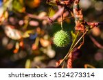 Chestnuts Ripening On The Tree