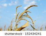 Corn field detail in sunny day with blue sky and clouds - stock photo