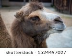portrait of a two humped camel... | Shutterstock . vector #1524497027