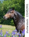 Portrait Of Nice Welsh Pony In...