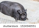 Fat Black Pig Sitting On The...