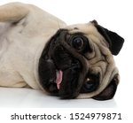 Close Up Of A Clumsy Pug Laying ...