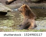 Happy Grizzly Bear Cooling in the Water. Side profile of a grizzly bear stood in a pool of river water cooling off looking alert and with a smiling happy expression. - stock photo