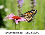 Closeup Of A Monarch Butterfly...