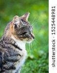 Stock photo gray brown striped cat on a green grass background little cute kitten home pet kitten head close 1525448981