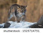 Bobcat  Lynx Rufus  Kicks Up...
