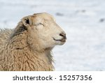 Sheep In The Snow  Enjoying The ...
